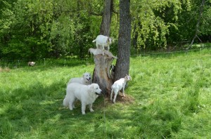 Aaron and Maggie with goat kids on tree
