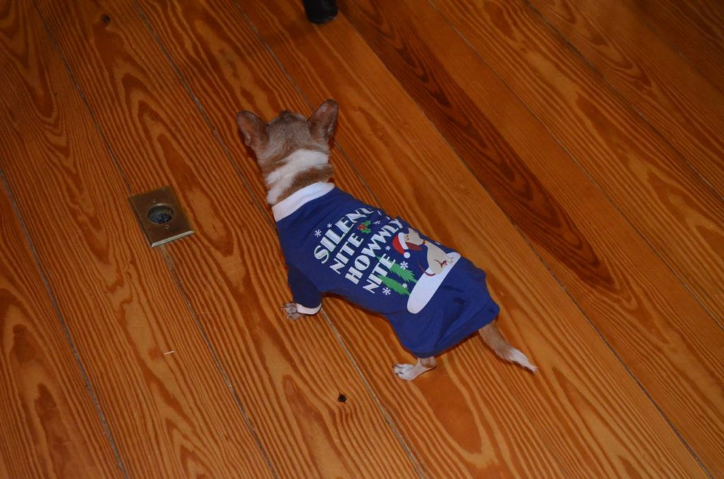 Wilbur with Christmas sweater
