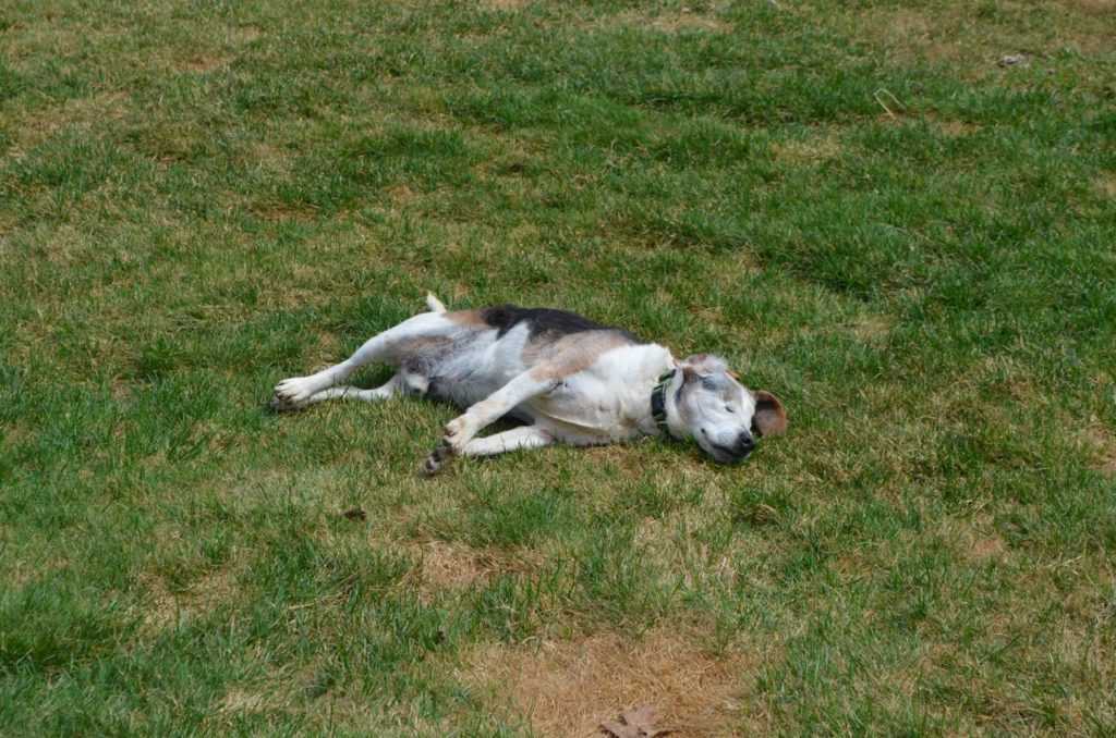Louie laying on grass