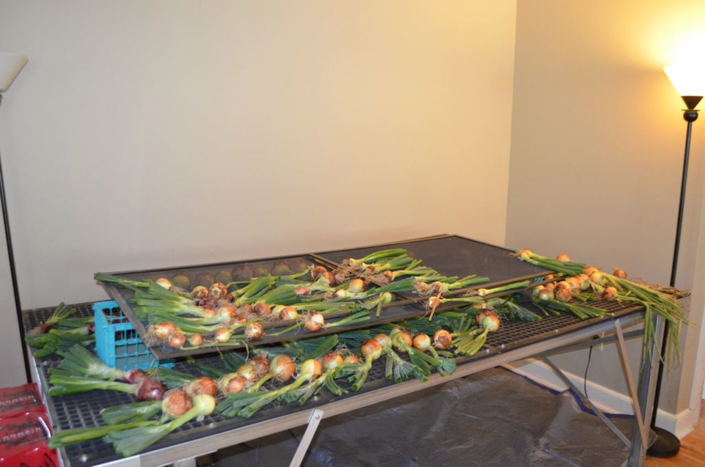 Onions on table drying
