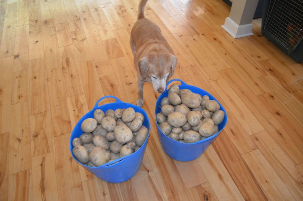 Potatoes with Darla inspection