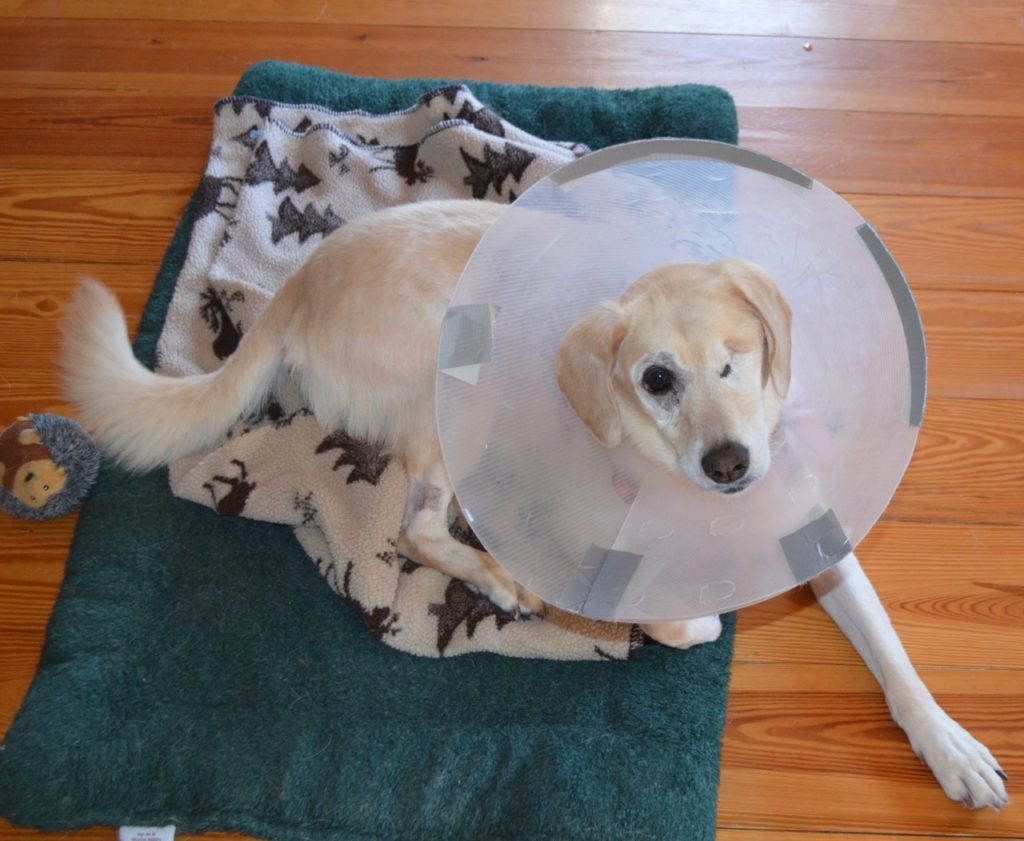 Millie with cone after surgery