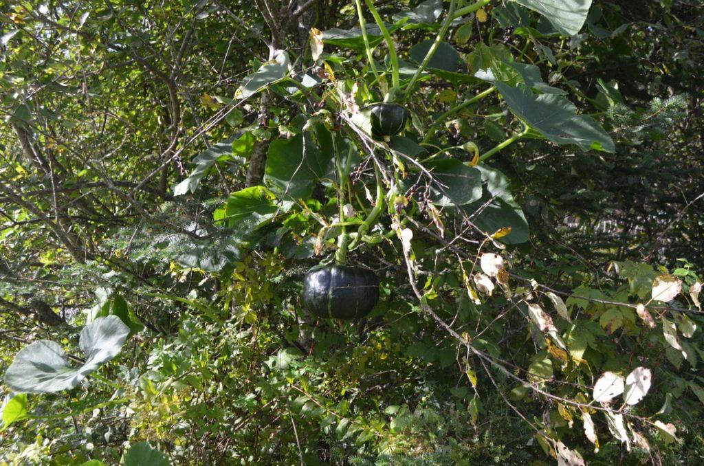 Squash in tree 1
