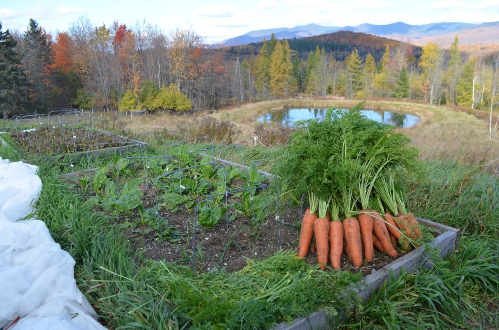 Carrots and raised beds Oct 19