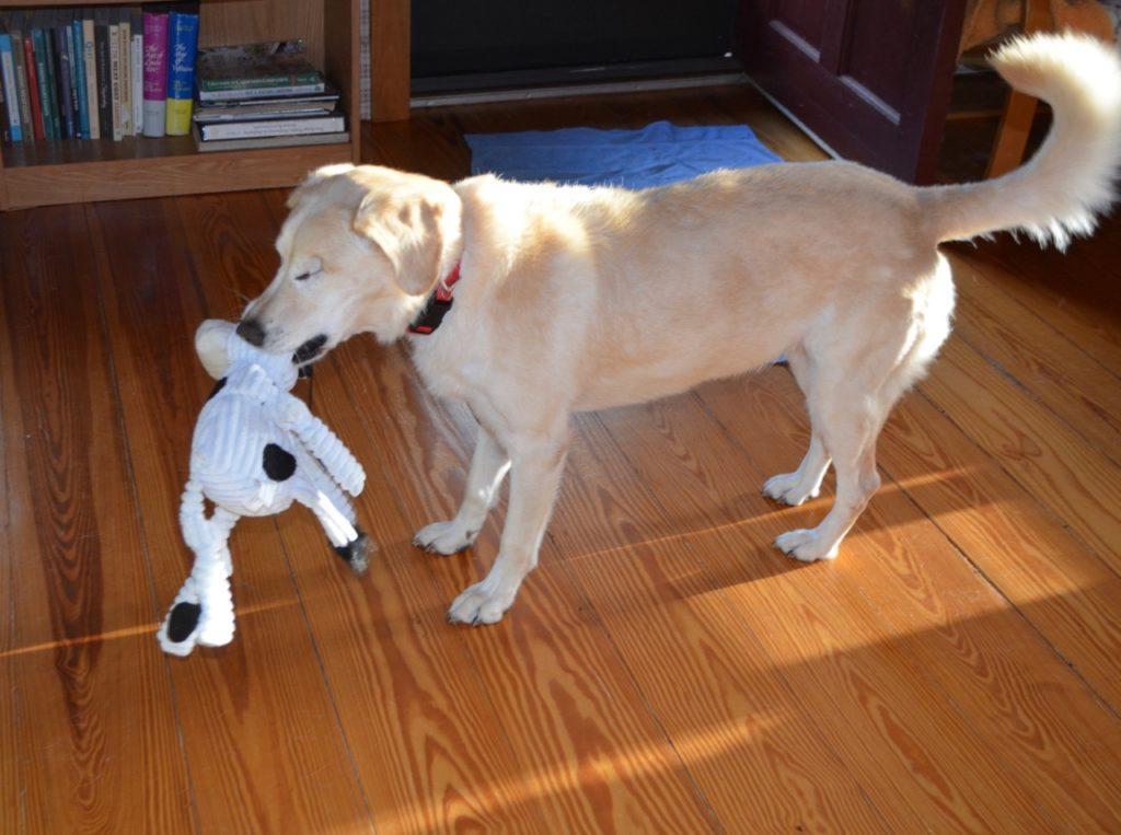Millie with toy cow